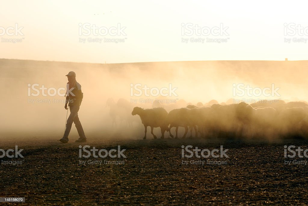 Shepard leading a herd of sheep stock photo