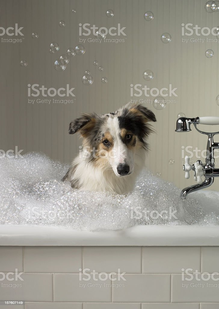 Shepard like Dog getting a bath with bubbles in background. royalty-free stock photo