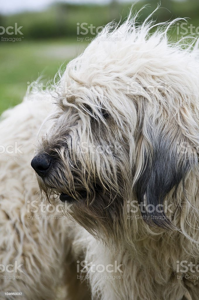 Sheperd dog stock photo