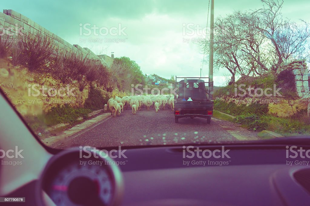 Sheperd on board of his three-wheeled vehicle leading his flock stock photo