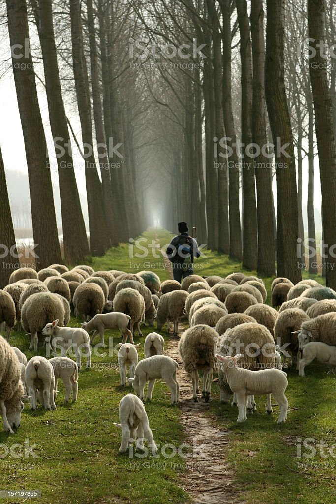 Shepherd and a flock of sheep following him stock photo