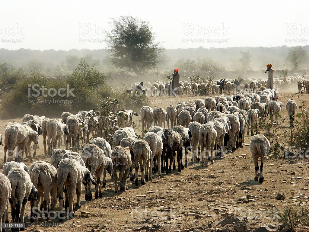 Shepherd and his flock in the desert of Rajasthan,India royalty-free stock photo