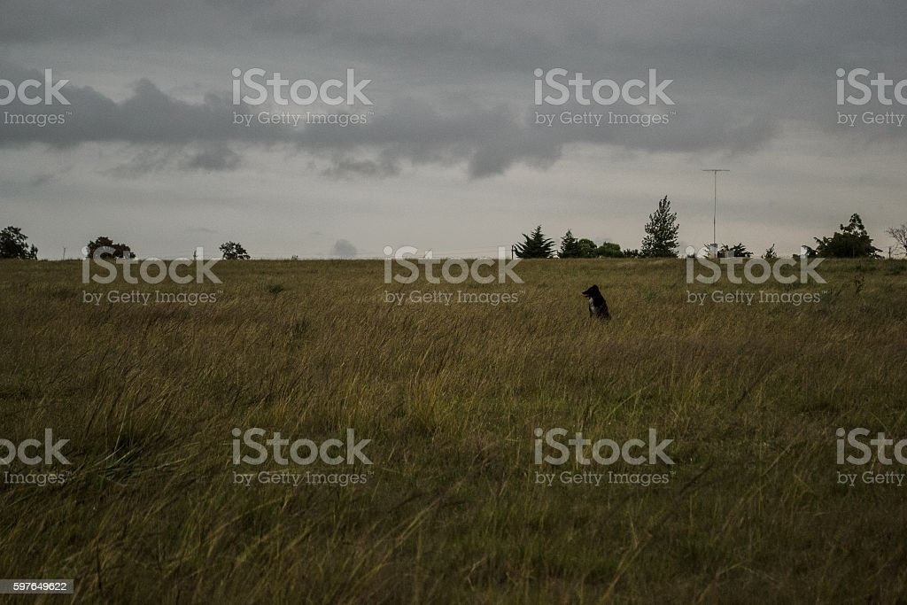 shepherd dog between tall grass stock photo