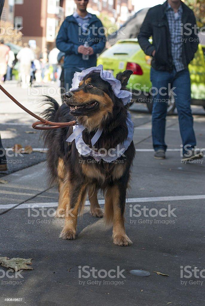 Shepherd Dog in Big Bad Wolf Costume stock photo