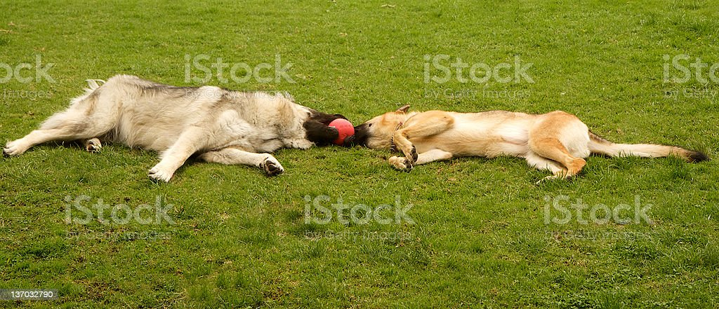 Shepherd Dogs stock photo