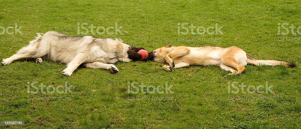 Shepherd Dogs stock photo