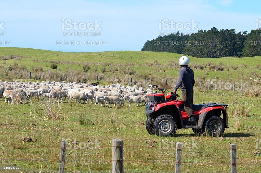 Shepherd during Sheep herding in New Zealand stock photo