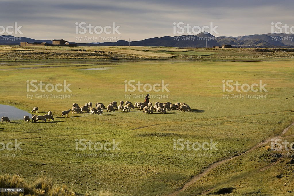 Shepherd Farmer Herding Sheep, Lambs in Andes, Peru, South America stock photo