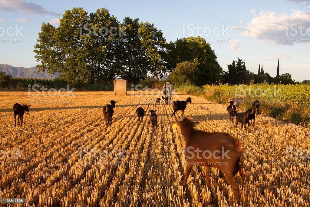 Shepherd farmer with his goats stock photo