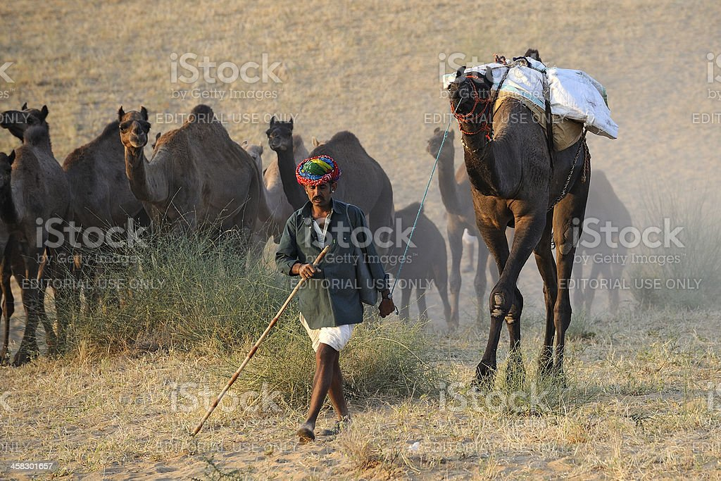 Shepherd go to sell camels in the Pushkar fair royalty-free stock photo