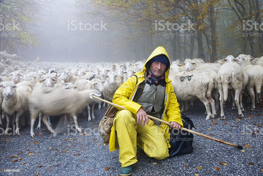 Shepherd leads his sheep stock photo