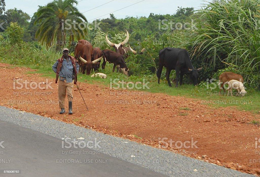 Shepherd tends herd of cows by road near Masindi, Uganda. stock photo
