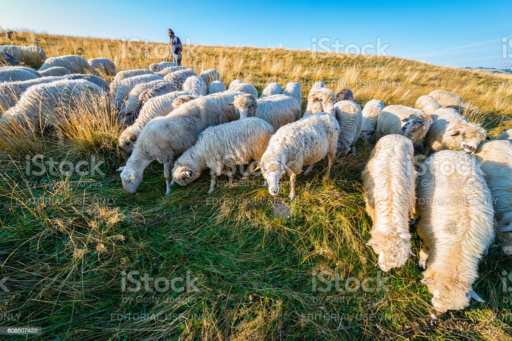 Shepherd walking with his flock of sheep and dogs stock photo