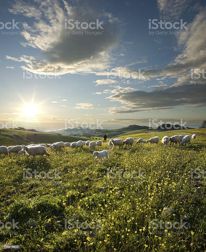 shepherd with dog and sheep grazing flowered field at sunrise stock photo
