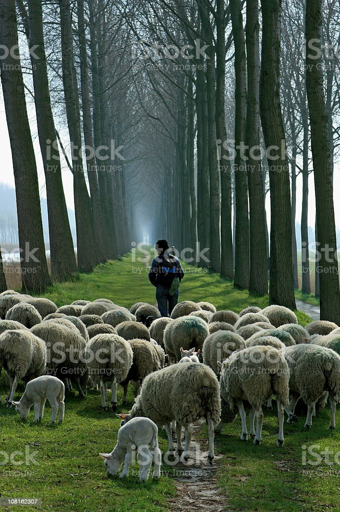 Shepherd with flock of sheep follwoing path between tall trees stock photo