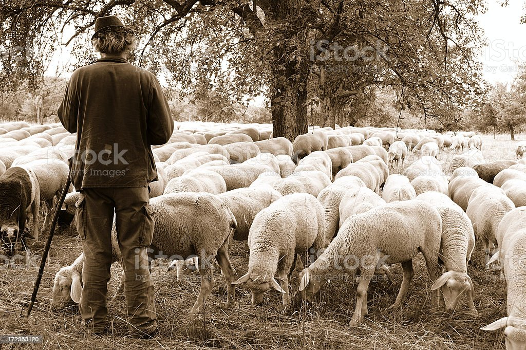 Shepherd with Sheep stock photo