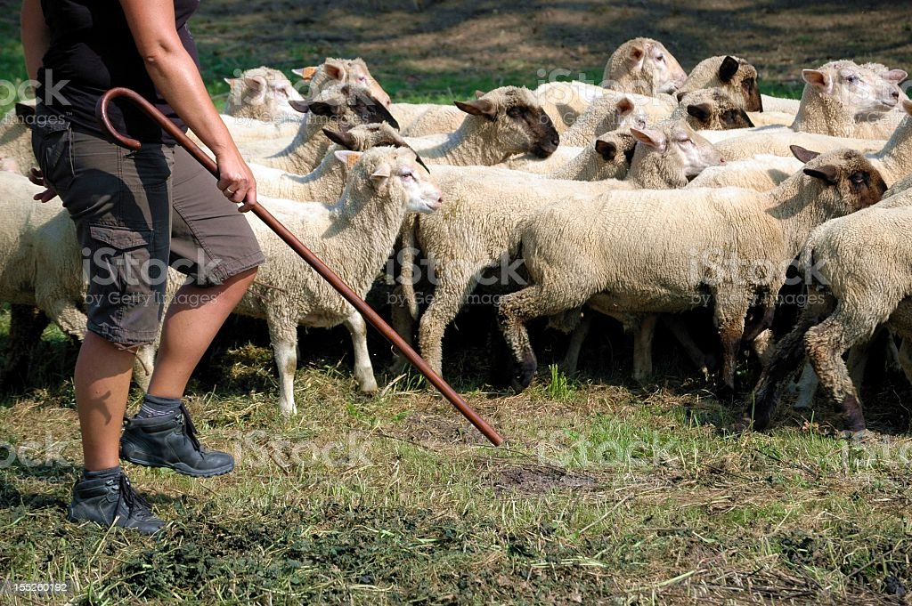 Shepherds and flocks of sheep with a man with a cane stock photo
