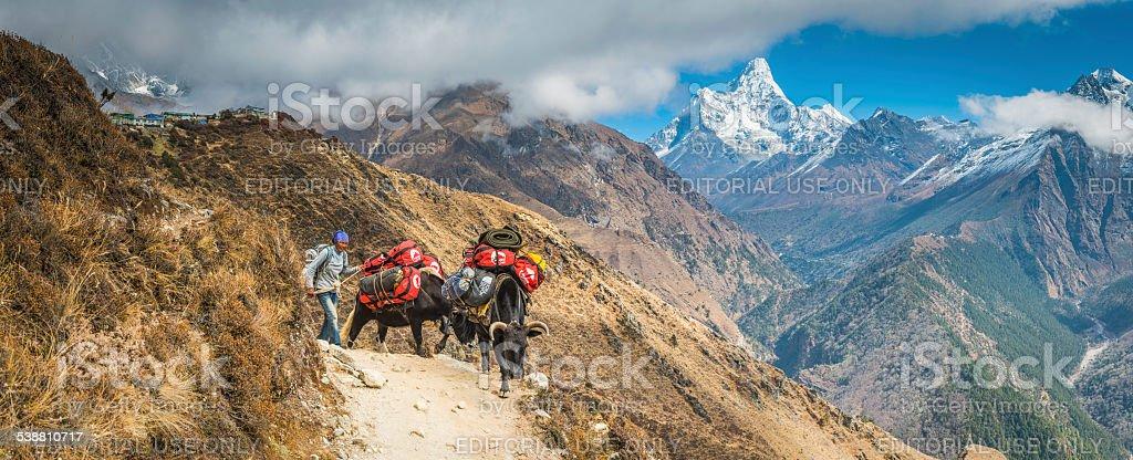 Sherpa woman driving yaks Khumbu Himalaya mountain peaks trail Nepal stock photo