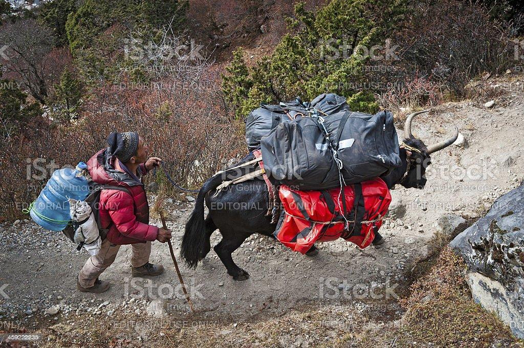 Sherpa yak driver Himalayan mountain trail Nepal royalty-free stock photo