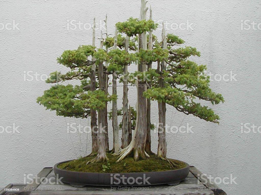 Sherwood Forest Bonsai stock photo