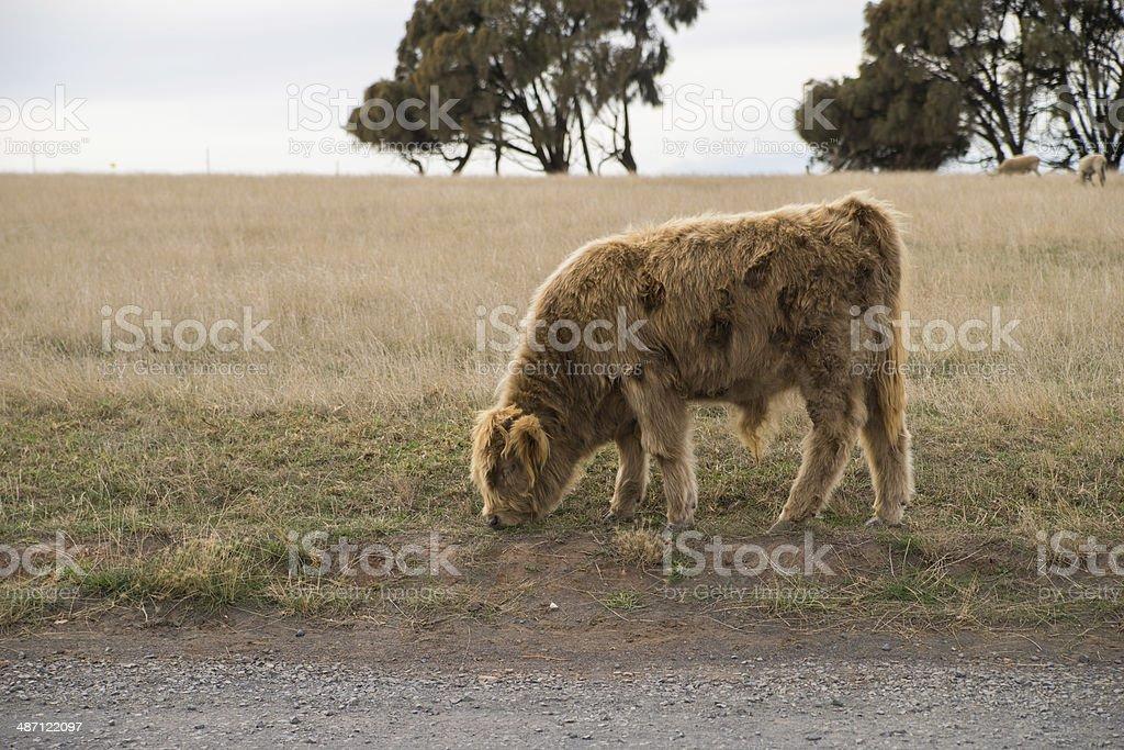 Shetland Cattle stock photo