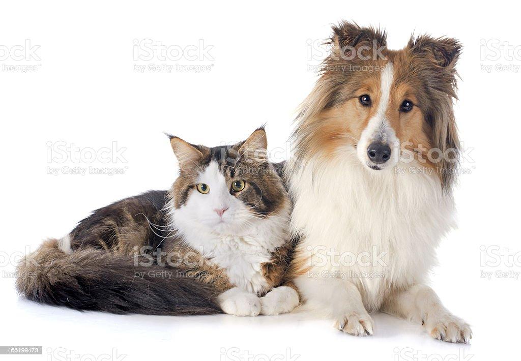 shetland dog ans maine coon cat stock photo