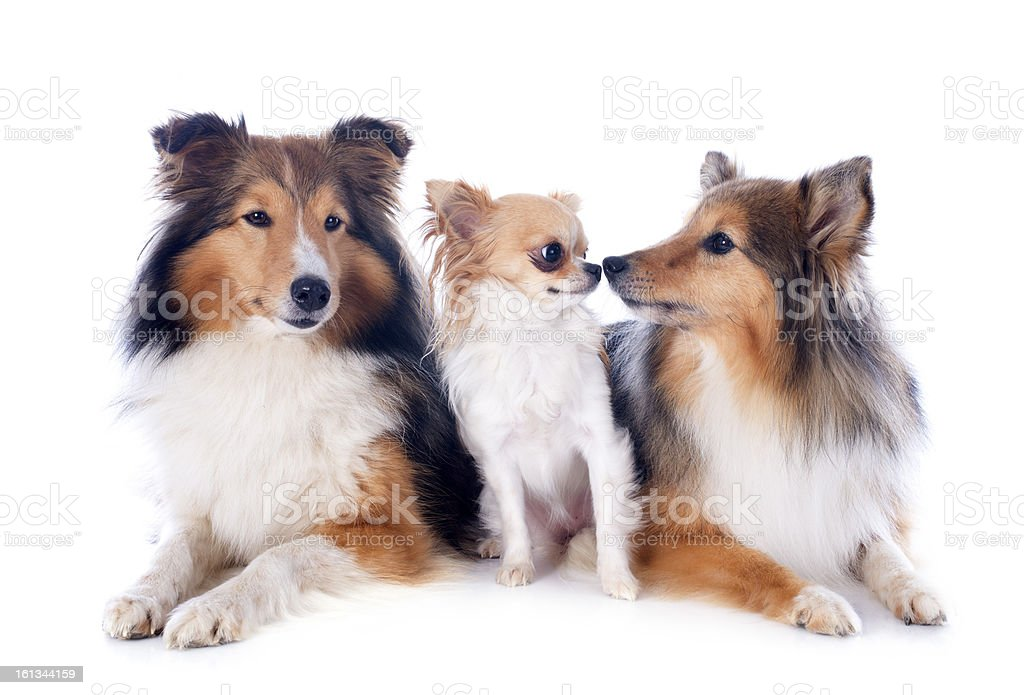 shetland dogs and chihuahua royalty-free stock photo