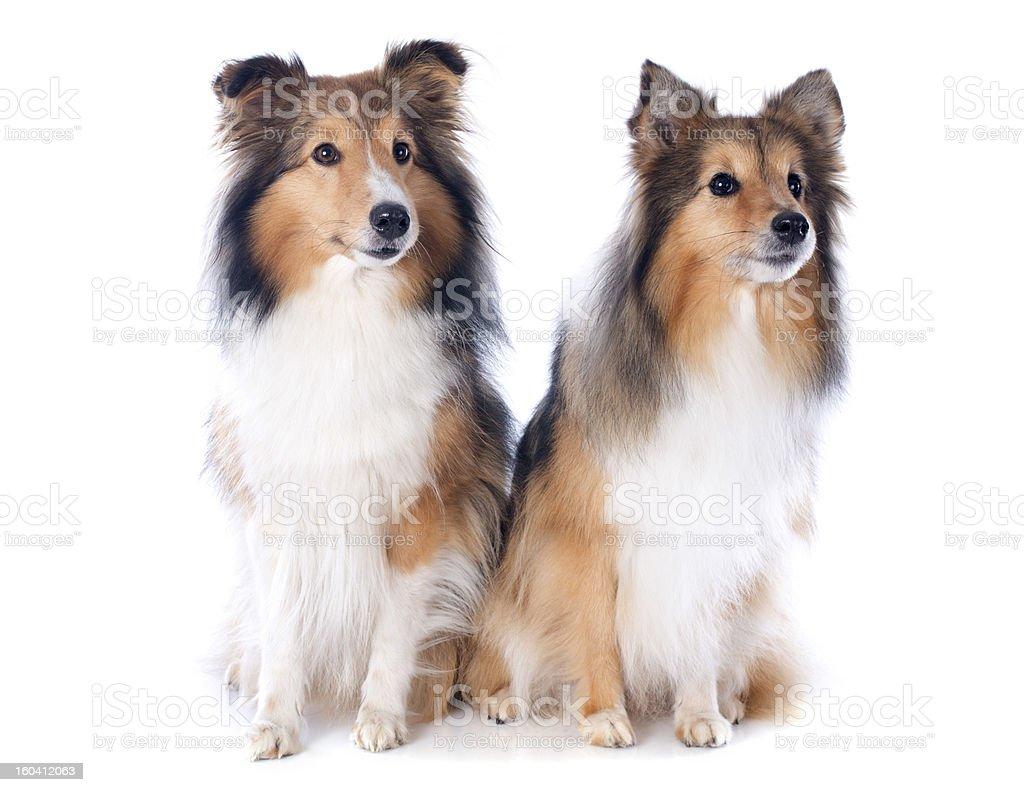 shetland dogs royalty-free stock photo