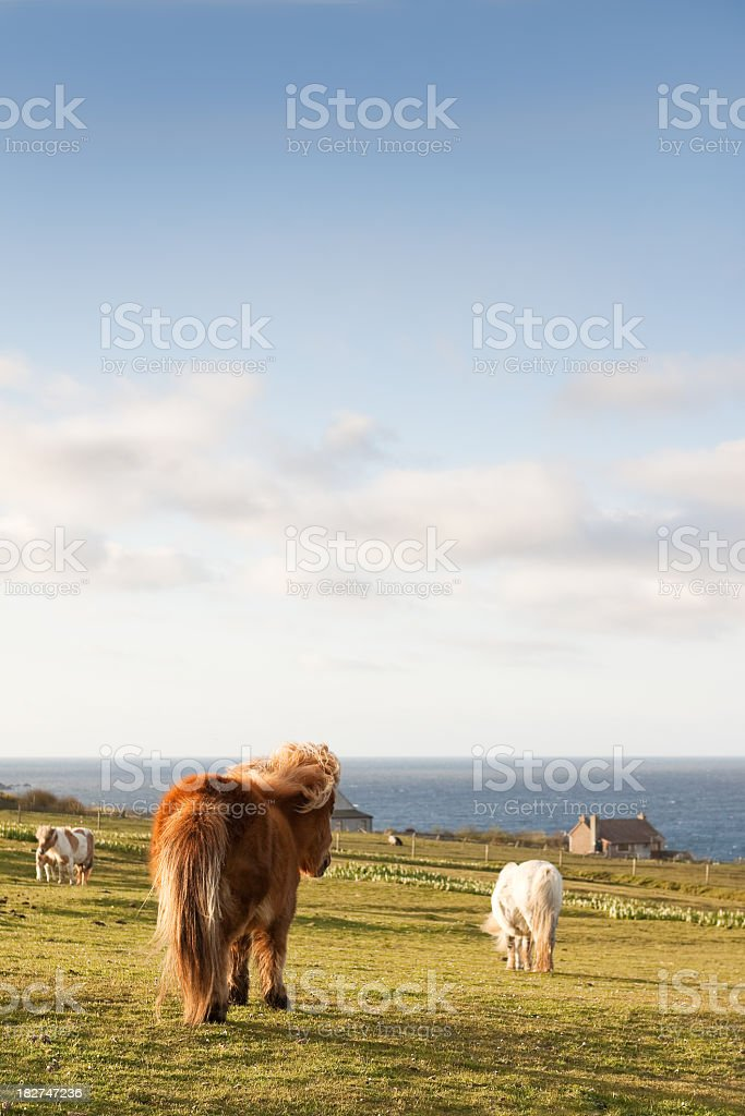 Shetland Ponies royalty-free stock photo
