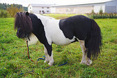 Shetland pony horse staying outdoors on pasture with green grass