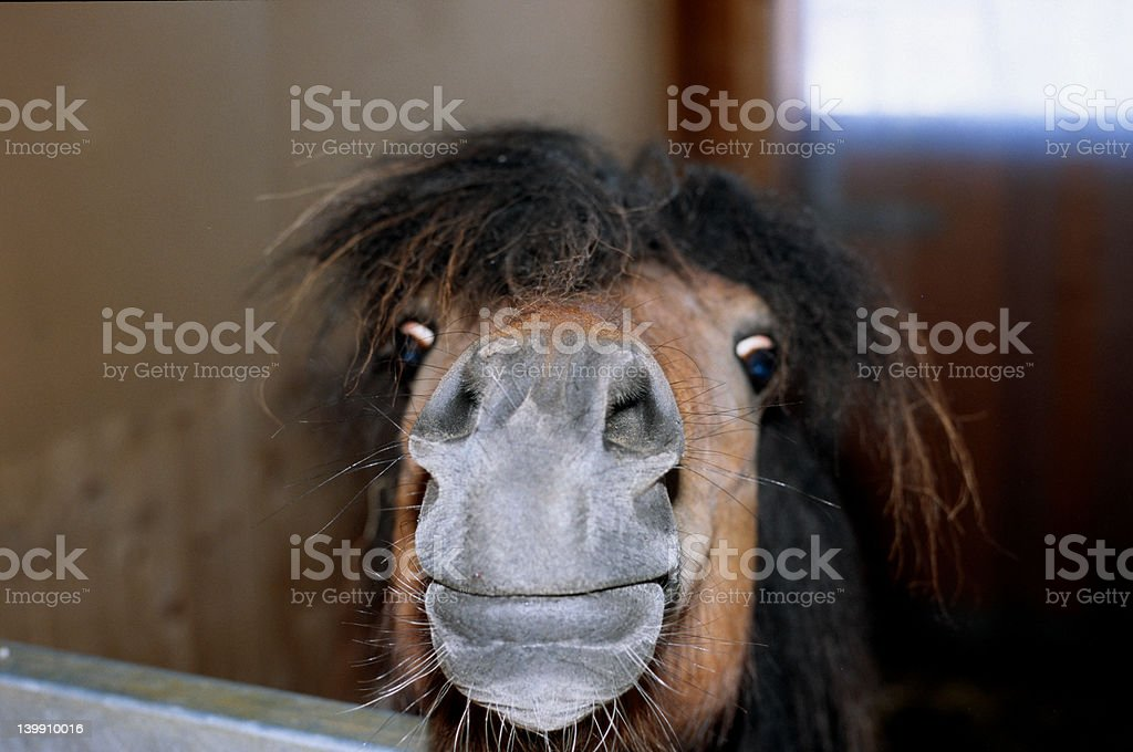 Shetland Pony lucky and curious stock photo