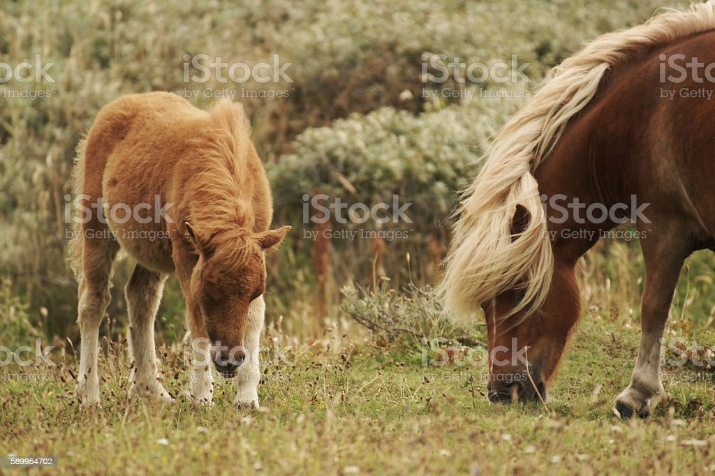 Shetland Pony, mother and foal stock photo