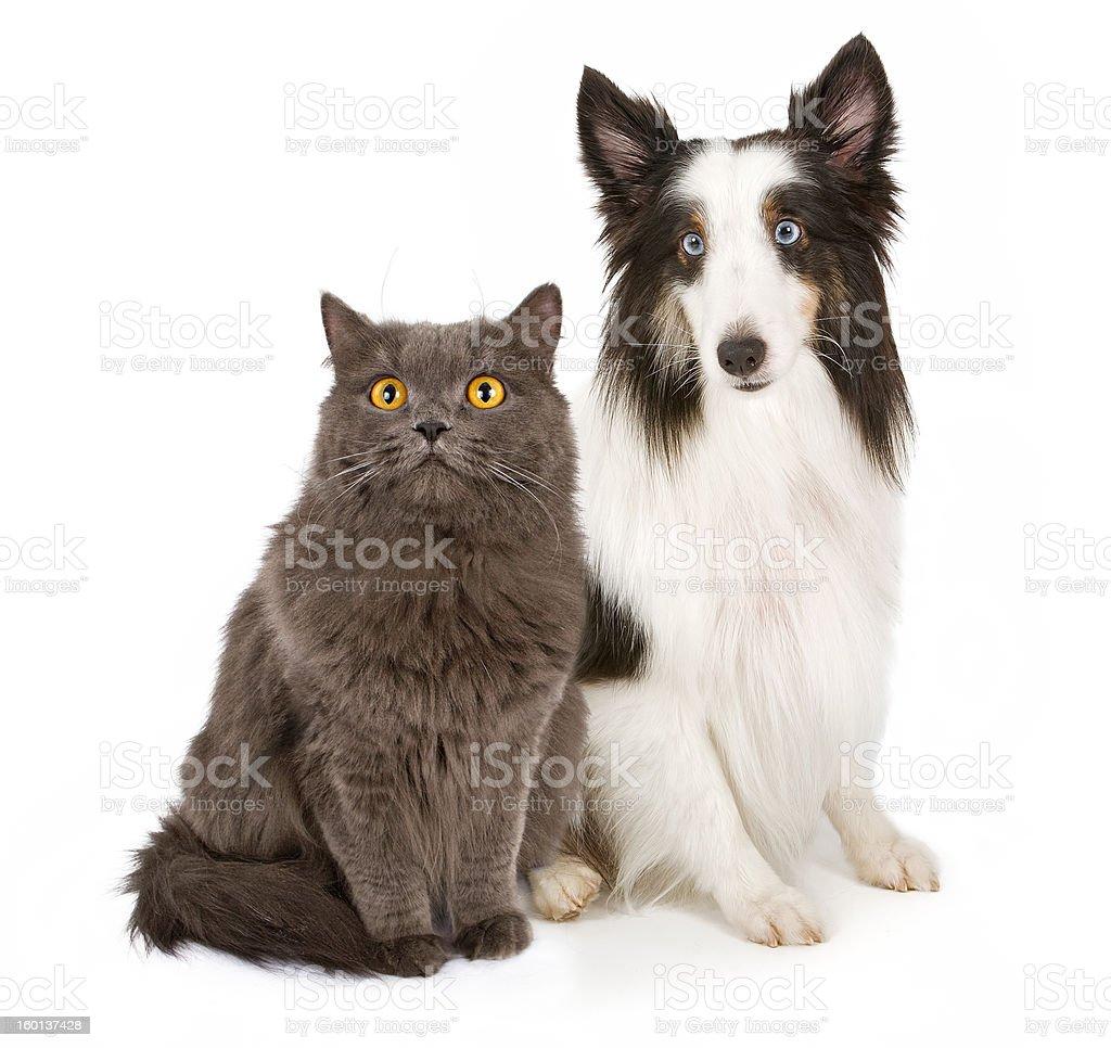 Shetland Sheepdog and Gray Cat royalty-free stock photo