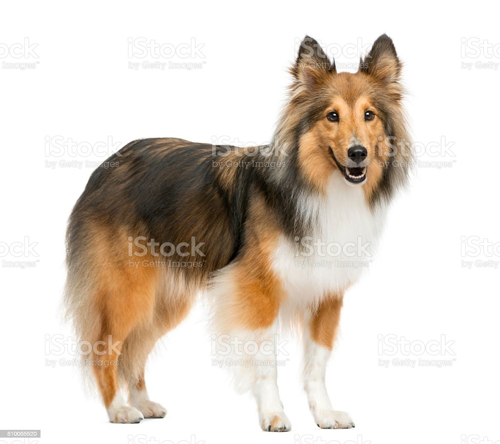 Shetland Sheepdog in front of a white background stock photo
