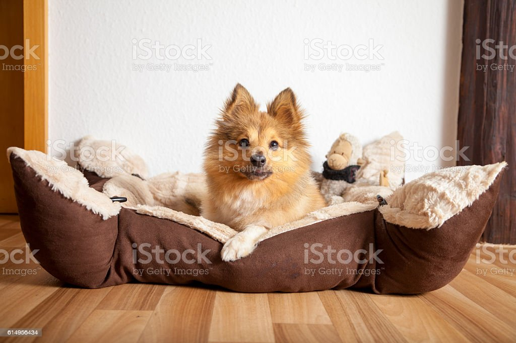 shetland sheepdog lies in his dog basket stock photo