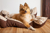 shetland sheepdog lies in his dog basket