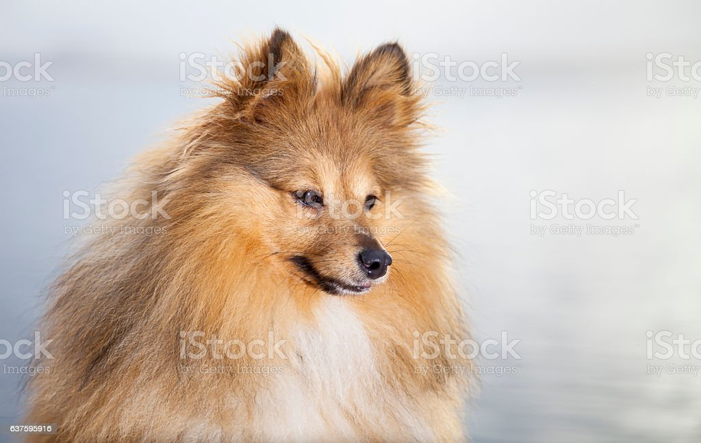 Shetland Sheepdog looks to his owner stock photo
