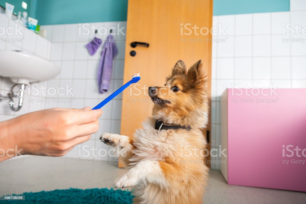 Shetland Sheepdog on a toothbrush stock photo