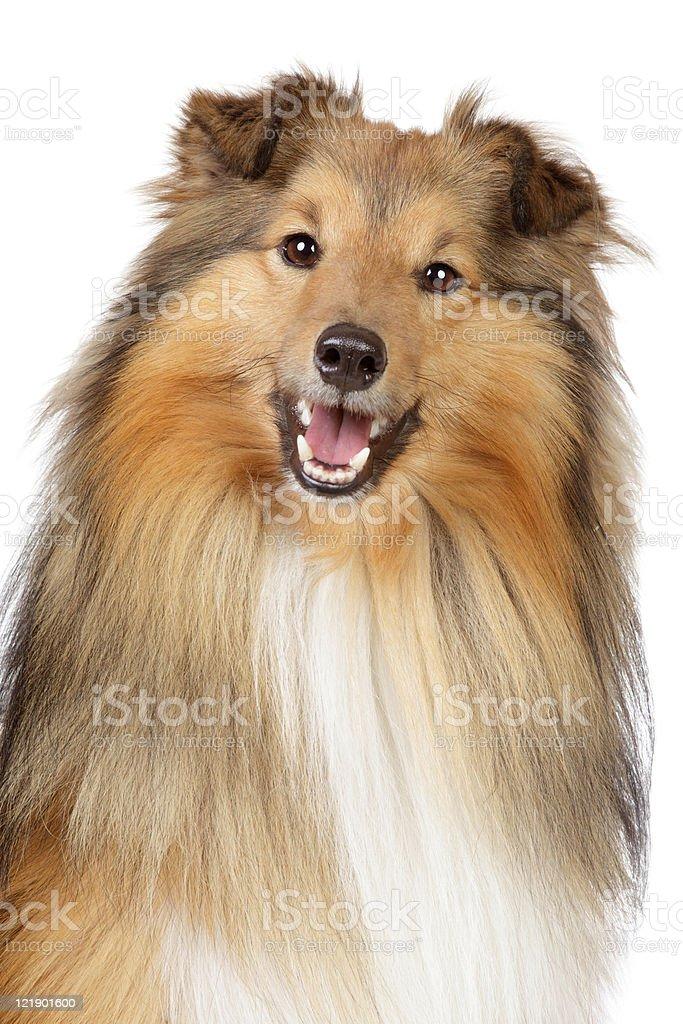 Shetland sheepdog on a white background royalty-free stock photo