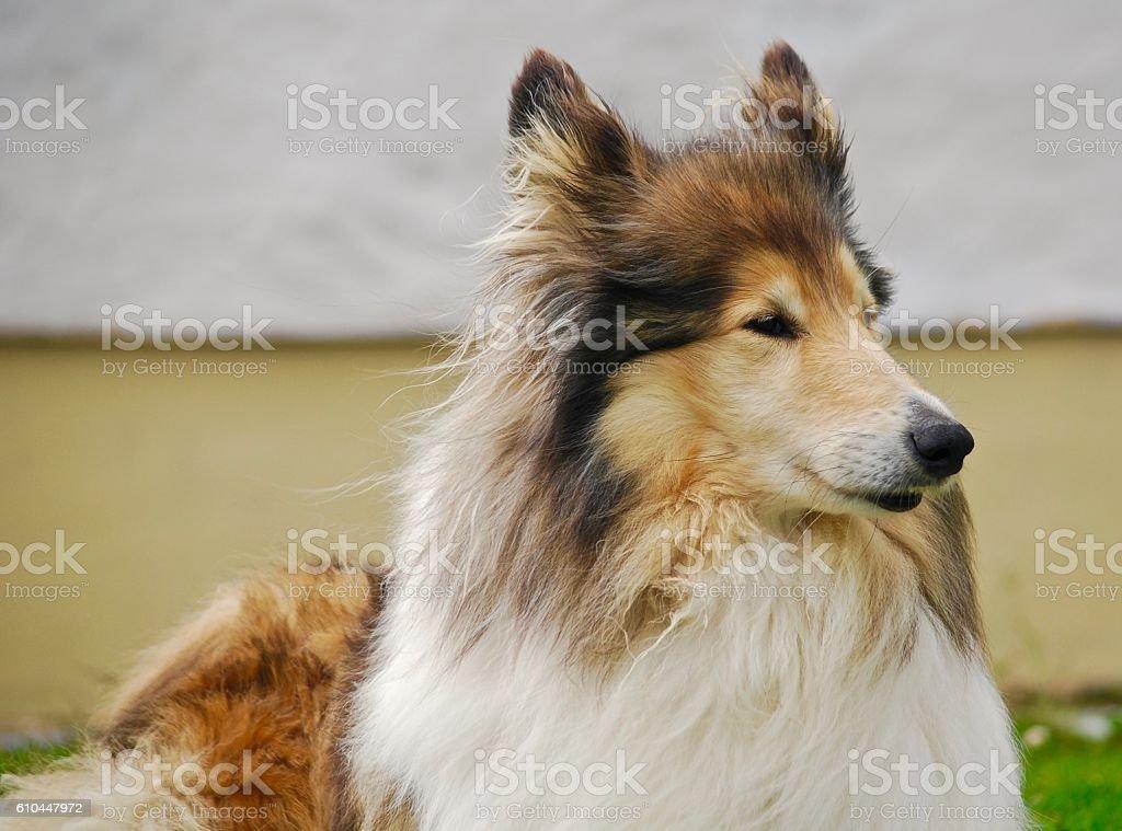 Shetland sheepdog portrait stock photo