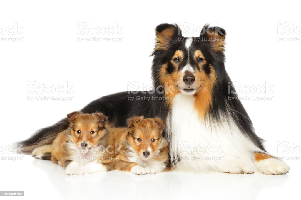 Shetland Sheepdog puppies and father stock photo