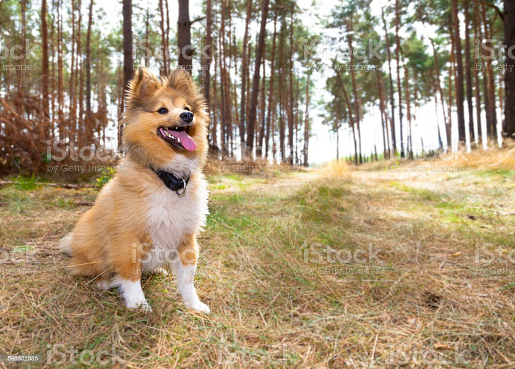 shetland sheepdog sits in a forest stock photo