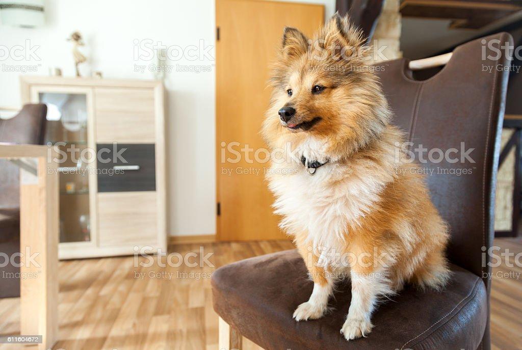 Shetland Sheepdog sits on a brown chair stock photo