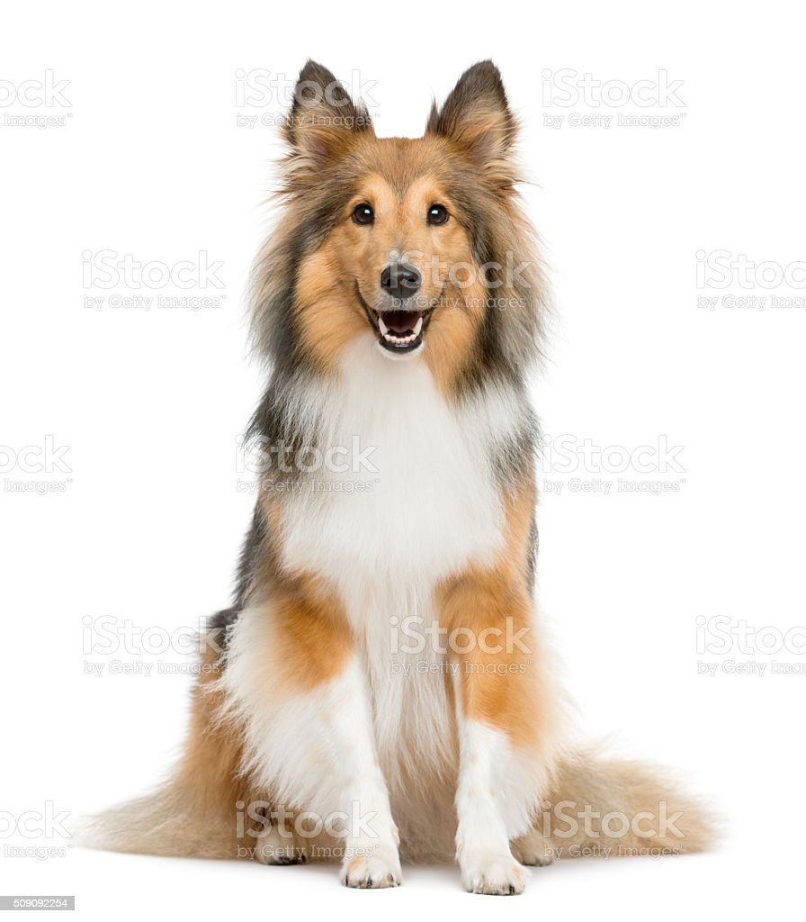 Shetland Sheepdog sitting in front of a white background stock photo