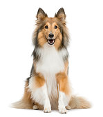 Shetland Sheepdog sitting in front of a white background
