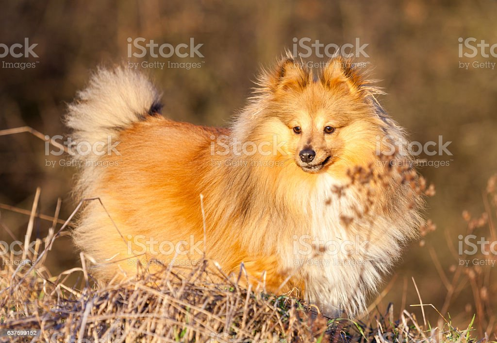 Shetland Sheepdog stands on a brown field stock photo