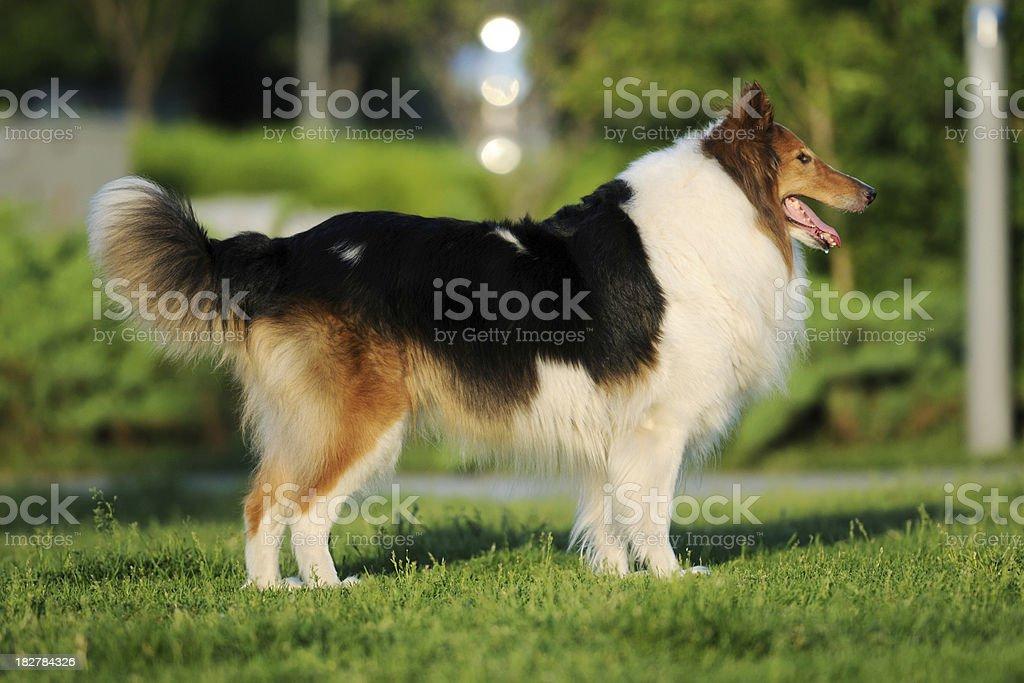 Shetland Sheepdog - XLarge royalty-free stock photo