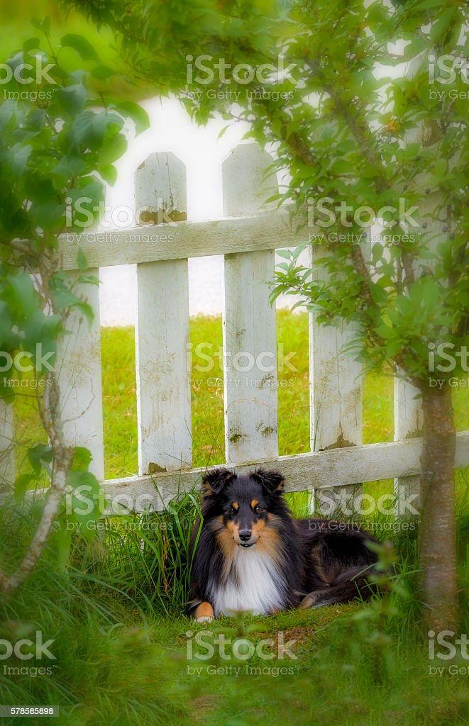 Shetland Sheepdog youngster stock photo