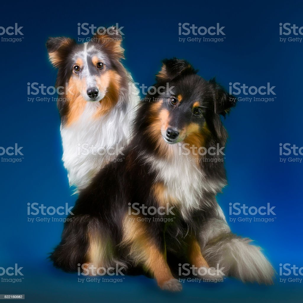 Shetland Sheepdogs youngster stock photo
