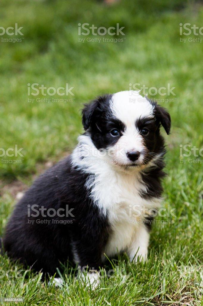 Shetland shepard puppy stock photo